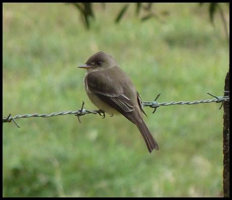 cr-tropical-pewee