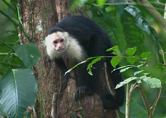 cr-white-faced-capuchin