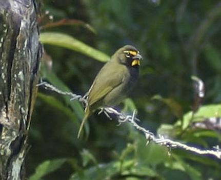 cr-yellow-faced-grassquit