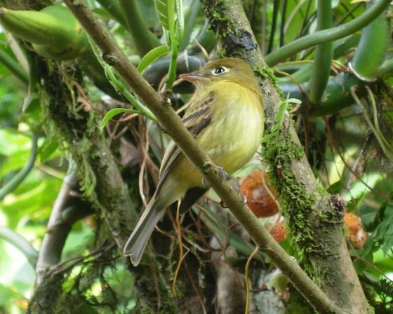 cr-yellowish-flycatcher-220210