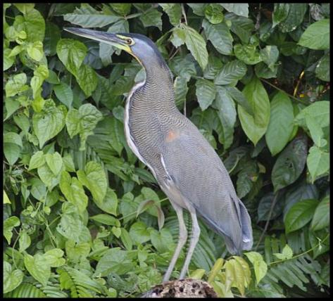 cr11-bare-throated-tiger-heron