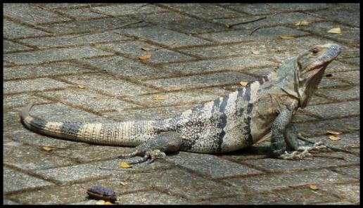 cr11-black-iguana