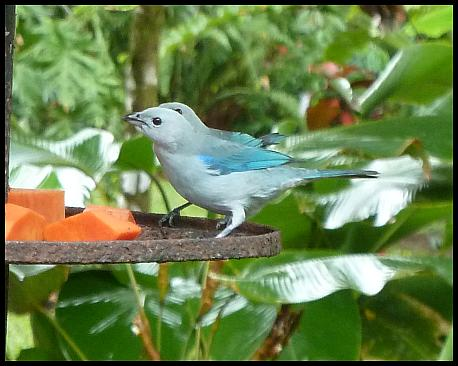 cr11-blue-gray-tanagers