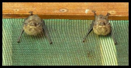 cr11-brazilian-long-nosed-bats