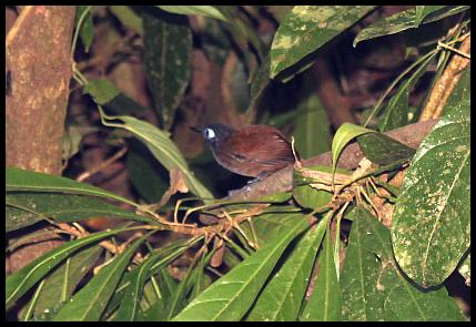 cr11-chestnut-backed-antbird