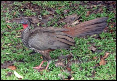 cr11-crested-guan