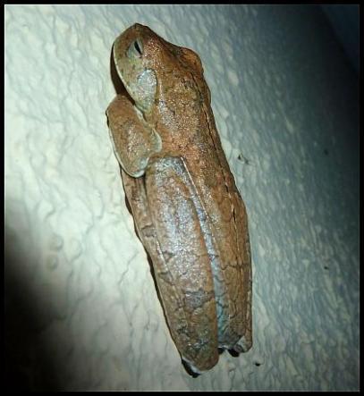 cr11-gladiator-frog