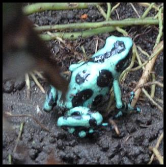 cr11-green-and-black-poison-arrow-frog