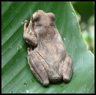 cr11-mexican-tree-frog