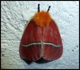 cr11-moth-1