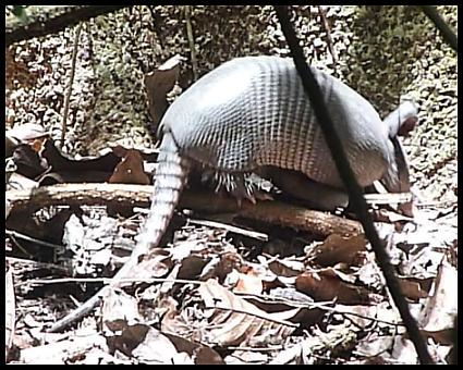 cr11-nine-banded-armadillo