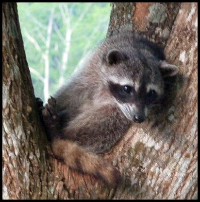 cr11-raccoon