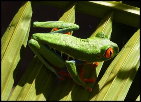 cr11-red-eyed-tree-frog