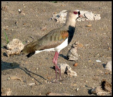 cr11-southern-lapwing