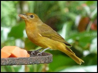 cr11-summer-tanager