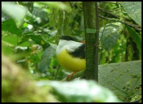 cr11-white-collared-manakin