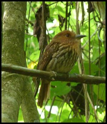cr11-white-whiskered-puffbird