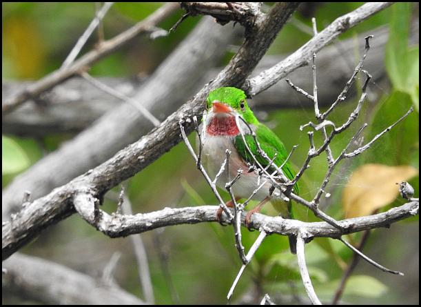 dr-broad-billed-tody
