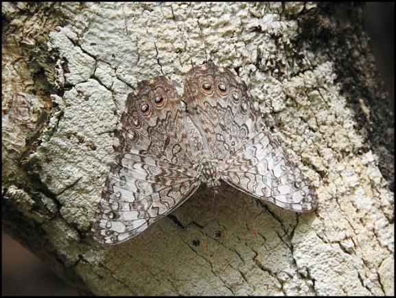 dr-caribbean-cracker-hamadryas-amphichloe-diasia