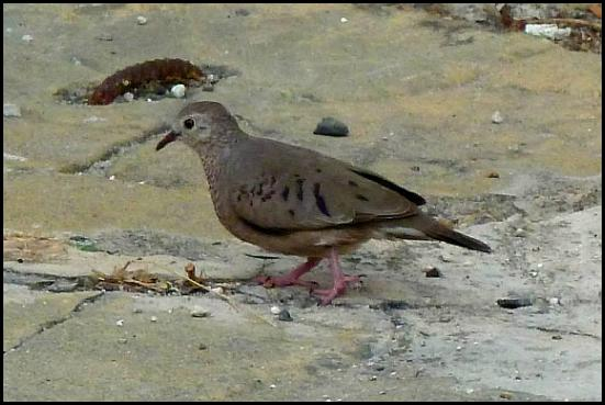 dr-common-ground-dove
