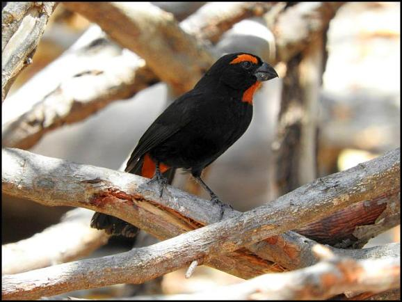 dr-greater-antillean-bullfinch
