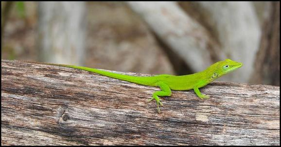 dr-green-anole