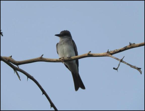 dr-grey-kingbird