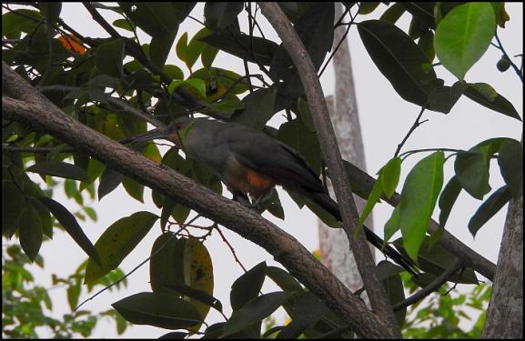 dr-hispaniolan-lizard-cuckoo