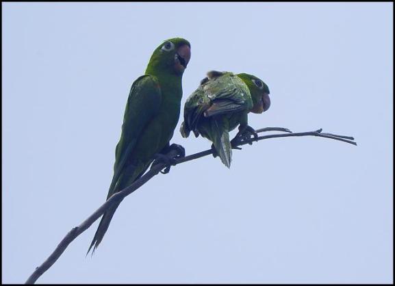dr-hispaniolan-parakeets