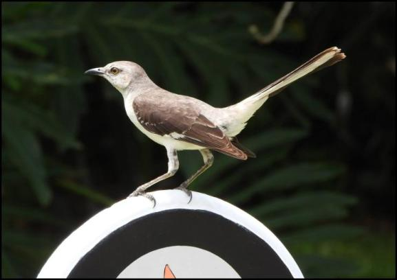 dr-northern-mockingbird