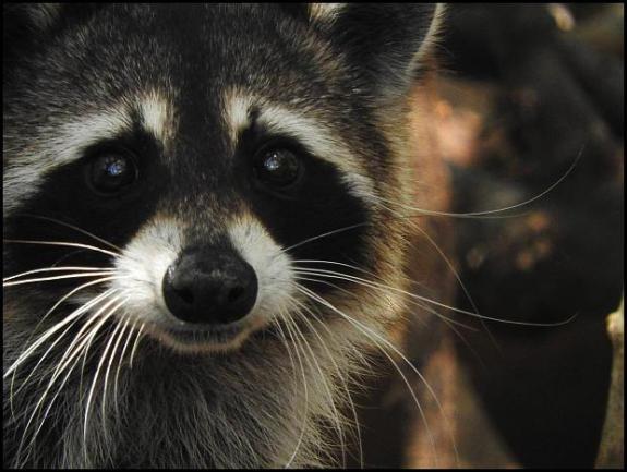 dr-raccoon