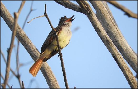 dr-stolid-flycatcher