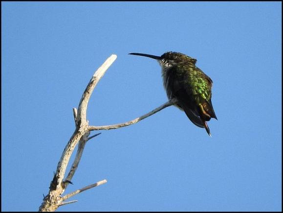 dr-vervain-hummingbird