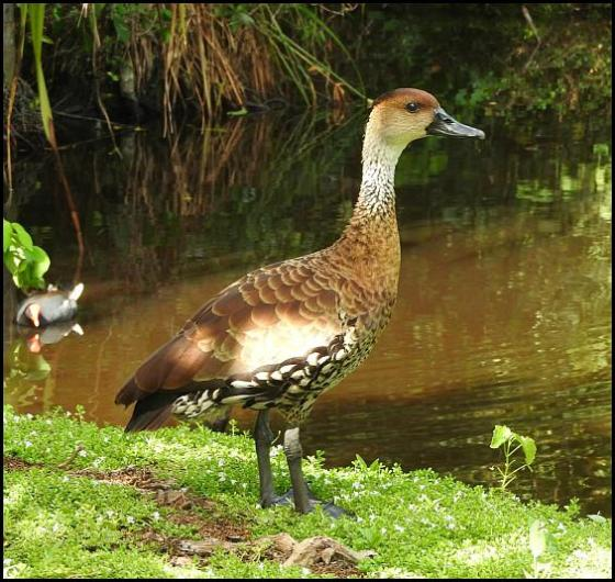dr-wi-whistling-duck