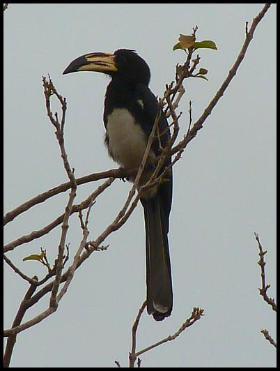gam-african-pied-hornbill