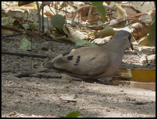 gam-black-billed-wood-dove