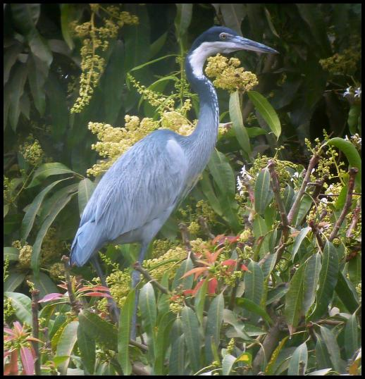 gam-black-headed-heron