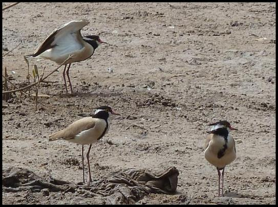 gam-black-headed-plovers
