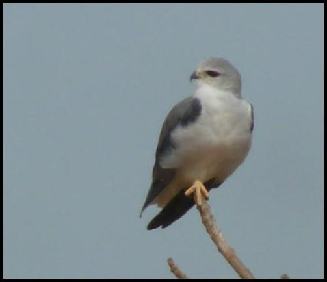 gam-black-shouldered-kite