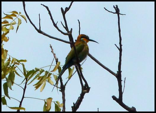 gam-blue-cheeked-bee-eater