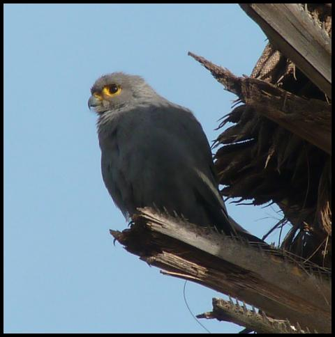 gam-grey-kestrel