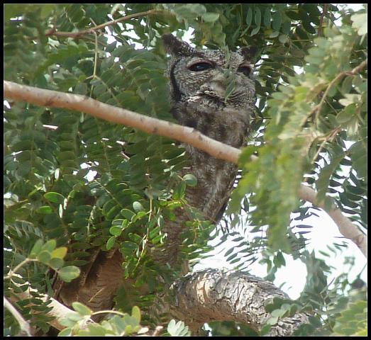 gam-greyish-eagle-owl