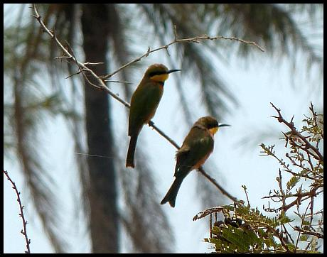gam-little-bee-eaters
