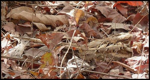 gam-long-tailed-nightjar
