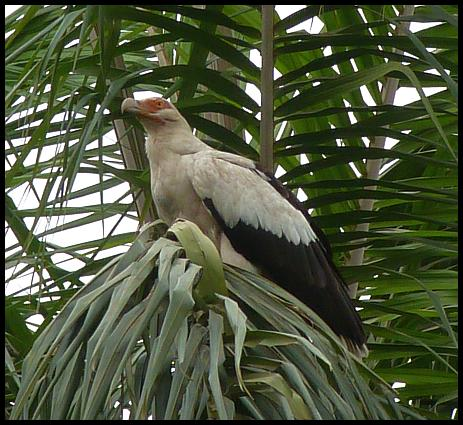 gam-palm-nut-vulture