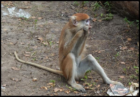 gam-patas-monkey