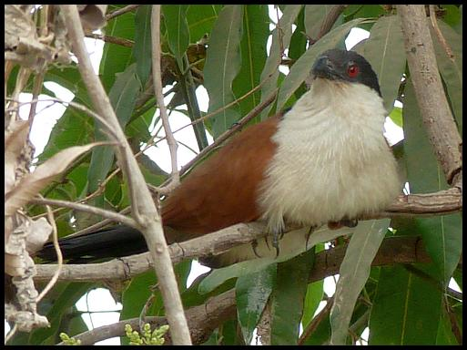 gam-senegal-coucal