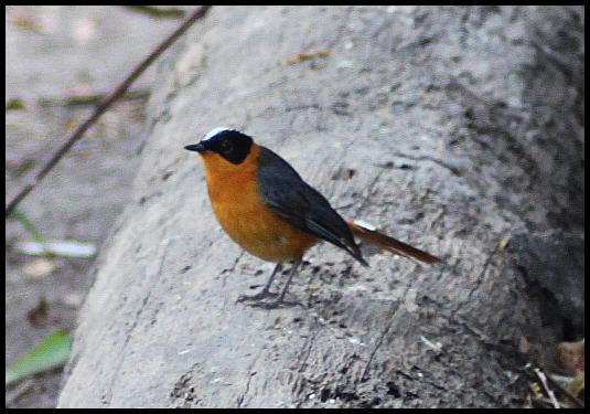 gam-snowy-crowned-robin-chat