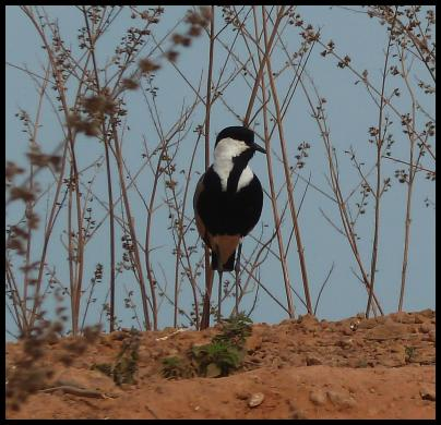 gam-spur-winged-plover