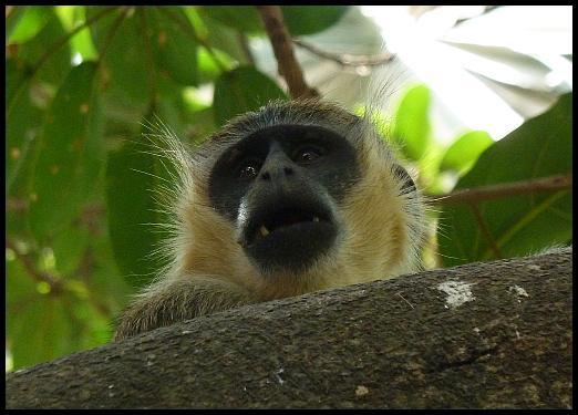 gam-vervet-monkey